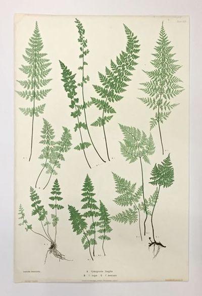 London: Henry Bradbury/Bradbury & Evans, 1855. unbound. Botanical print. Nature-printed copper engra...
