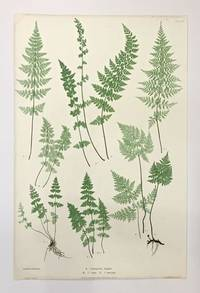 A. Cystopteris fragilis. B. C. regia. C. C. montana