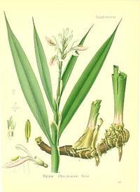 Alpinia officianarum Hance