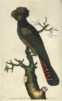 Magnificent Cockatoo, the Banksian Cockatoo. Hand colored copper engraving