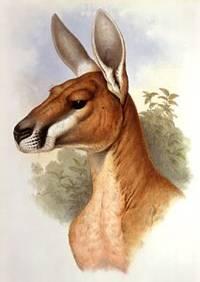Mammals of Australia Vol. II (Kangaroos & Wallabies)