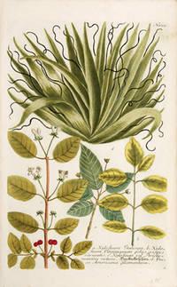 Xylosteum Italicum. by  George  Johann Wilhelm. EHRET - 1737-45 - from Peter Harrington (SKU: 72984)