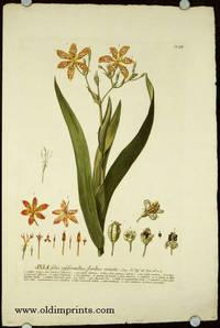 Ixia foliis ensiformibus, floribus remotis