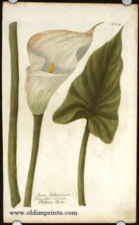 Arum Aethiopicum flore albo odorato