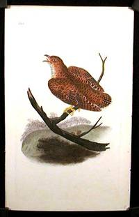 Cuculus Canorus. Common Cuckow. (cuckoo)