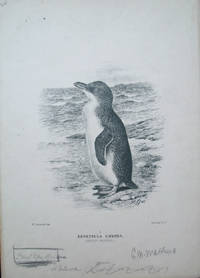 """Three proof plates of the Fairy Penguin from the """"Birds of Australia"""".   Eudyptula Undina (or Minor) signed and notated by Mathews and Gronvold"""