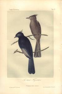 image of The black Flycatcher: Ptilogonys nitens