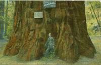 General Grant Big Tree Grove, Santa Cruz, California early 1900s used Postcard