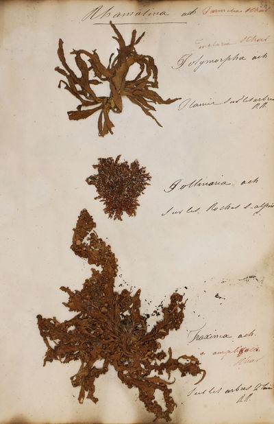 Manuscript herbarium of lichens and...