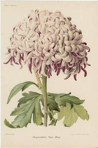 Chrysantheme Papa Musse.