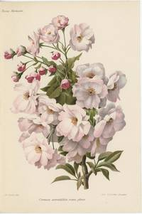 Cerasus serratifolia rosea plena.