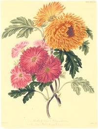 1. The Early Crimson Chrysanthemum.  2. The Large Quilled Orange Chrysanthemum