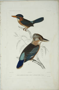 image of Martin Chasseur de Salusse_Acteonide Variee (Kingfisher_Fawn-breasted Kingfisher)