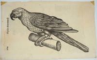 image of Parrot, Italian Renaissance woodblock print