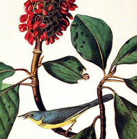 Bonaparte's Flycatcher. From The Birds of America (Amsterdam Edition)