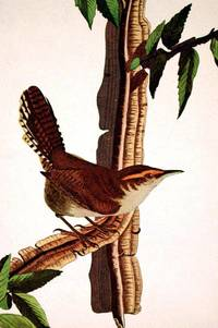 Bewick's Wren. From The Birds of America (Amsterdam Edition)