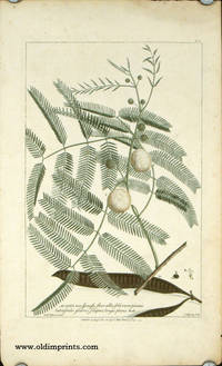 Acacia non spinosa...