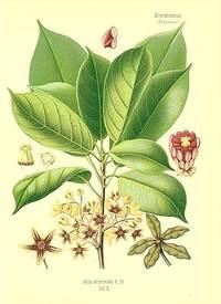 Cola acuminata R. Br.  Taf. A