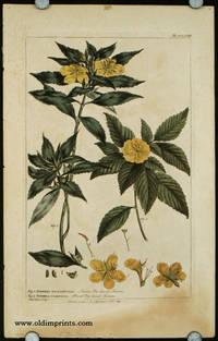 Fig. 1. Turnera Angustifolia. Narrow Elm-leaved Turners. Fig. 2. Turnera Ulmifolia. Broad Elm-leaved Turnera