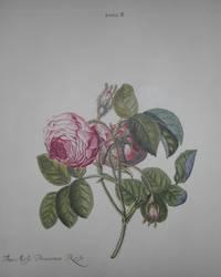 HORTUS NITIDISSIMIS ... : Rosa II; The Moss Provence Rose (print)