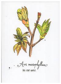 Blank Journal - Big Leaf Maple Botanical Cover Art