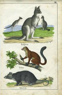 Kangaroo.  Hand colored lithograph