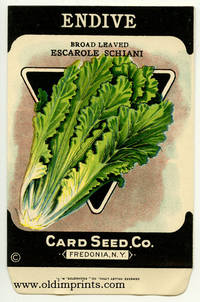 Endive.  Broad Leaved Escarole Schiani