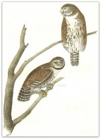 Pl. 30 Columbian Day Owl  The Birds of America,