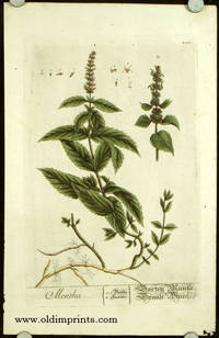 Mentha (from A Curious Herbal).