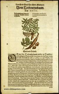 Terebinthus cum suo fruetu, folliculis, seu corniculis, & culicibus
