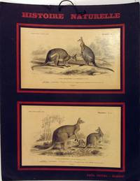 image of Histoire Naturelle, Mammiferes: Kangurou a dos noir [with] Kangurou laineux.  French instructional board showing black striped wallaby and great red kangaroo