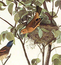Blue Grosbeak. From The Birds of America (Amsterdam Edition)