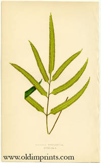 Davallia Pentaphylla