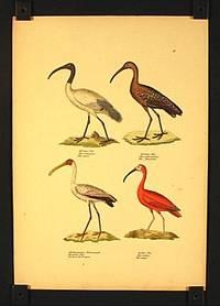 Heiligerlbis. Ibis religoisa. Ibis sacre. / Brauner Ibis. Ibis falcinellus. Ibis falcinelle. / Afrikanischer Nimmersatt. Tantalus Ibis. Tantale d'Afrique. / Rother Ibis. Ibis rubra. Ibis rouge