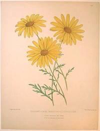 Chrysanthemum (Marguerite) Etoile D'Or