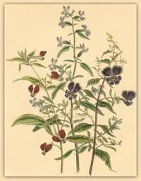 Plate 17.  Cuphea Llavea. Cuphea viscosissima. Cuphea lanceolata