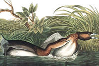 American Pied-bill Dobchick. From The Birds of America (Amsterdam Edition)