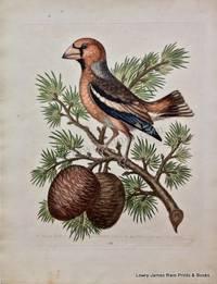 Pl 188. The Gros-beak or Haw-finch