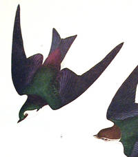 Bank Swallow, Violet-Green Swallow. From The Birds of America (Amsterdam Edition)