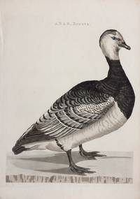 ANAS, Brenta.; (Dutch Duck)