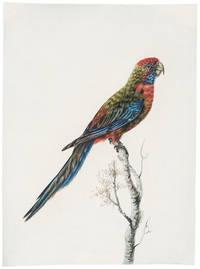 [Pennantian Parrot, Female]