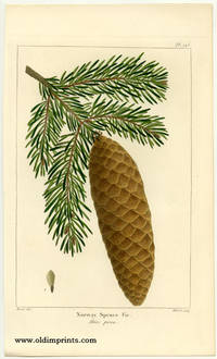 Norway Spruce Fir. Abies picea