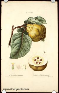 Cydonia communis. Coignassier commun