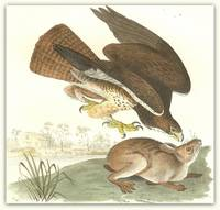 Pl. 6 Common Buzzard (Swainson\'s Hawk)  The Birds of America