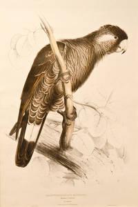 Baudin's Cockatoo. Calyptorhynclus Baudinii