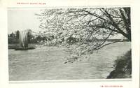 Japan, River & Cherry Blossom, unused Postcard
