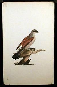 Lanius Collurio. Red - Backed Shrike, Butcher Bird, or Flusher