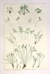A. Asplenium Ruta-muraria, B. A. germanicum, C. A. septentrionale