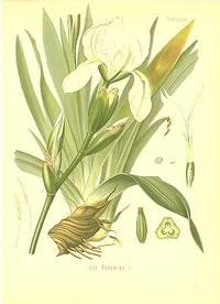 Iris florentina L