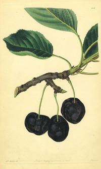 Cherries Print from the Pomological Magazine